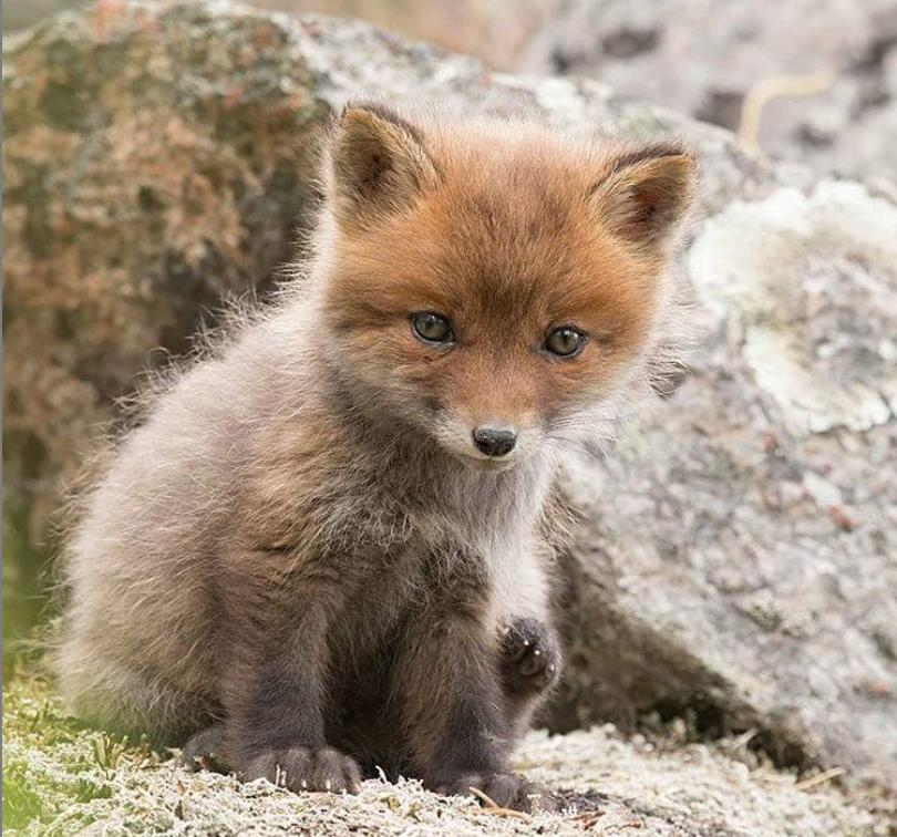 Kleiner Fuchs - Foto von Gunilla Falk