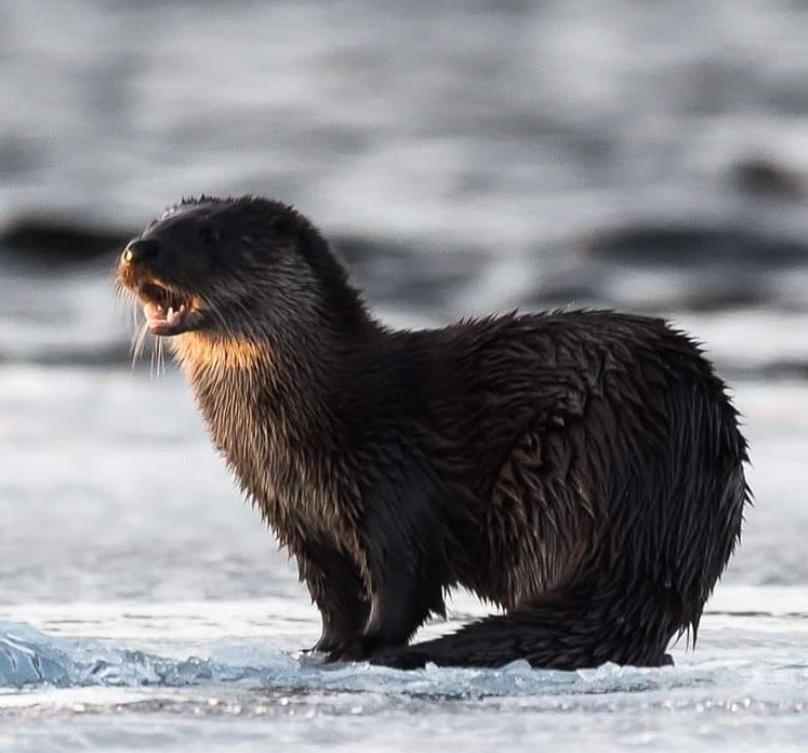 Gunilla Falk - Foto von Otter im Winter
