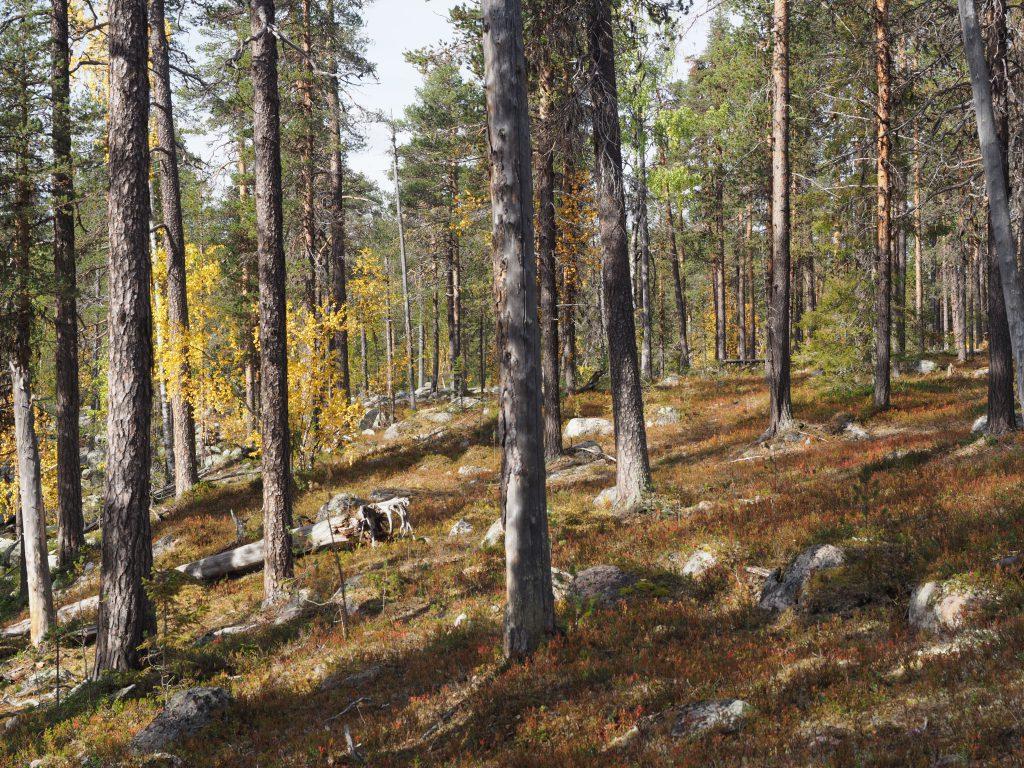 Die Wälder im Nationalpark Muddus