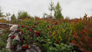 Beeren sammeln: Lingonpflanze