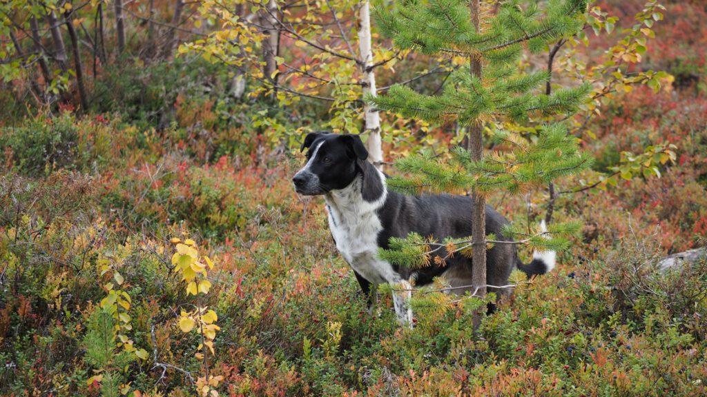 Norr auf Abenteuer in Lappland - Urlaub mit Hund
