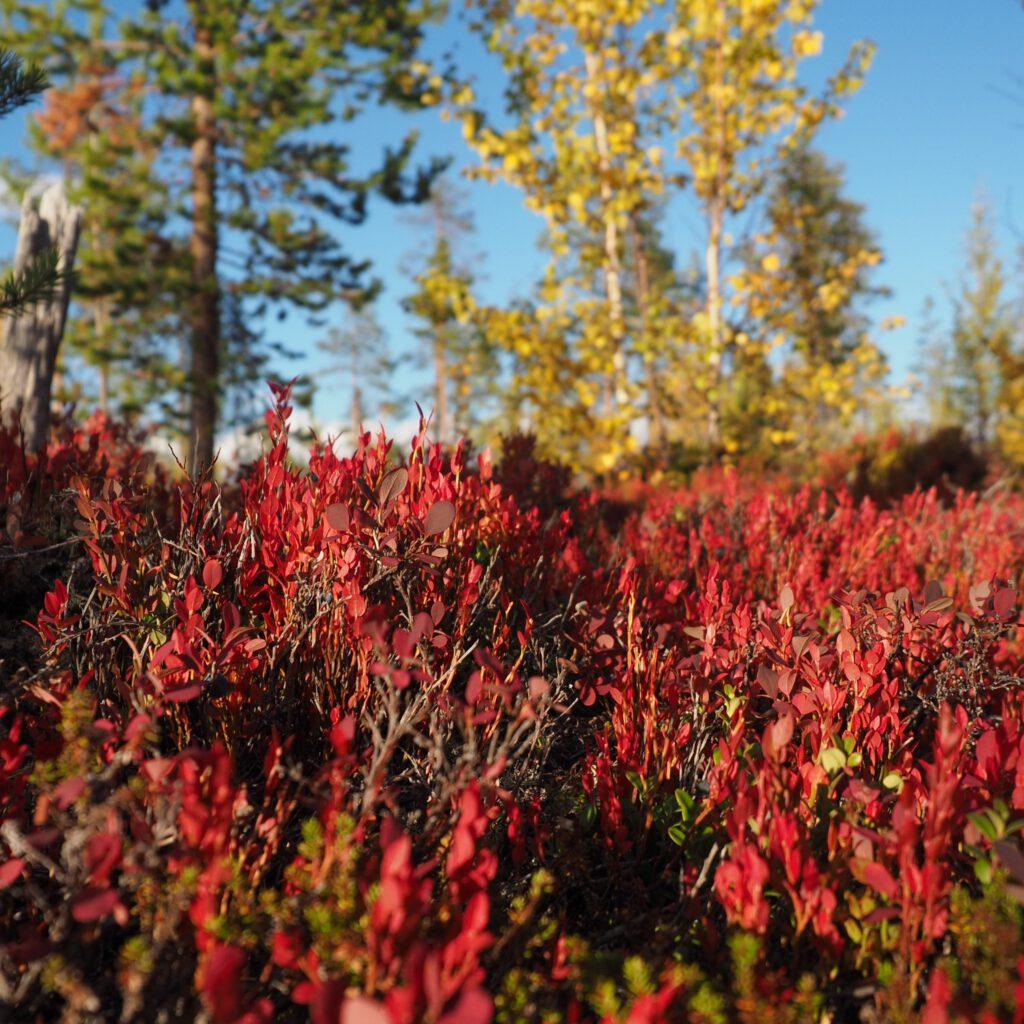Bunte Büsche im Indian Summer in Lappland