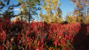 Indian Summer in Lappland rote Büsche
