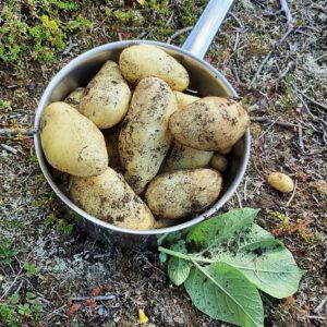 Kartoffeln aus eigener Ernte im Topf